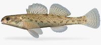 3d etheostoma nigrum johnny darter model