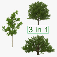 3d model summer white oak trees