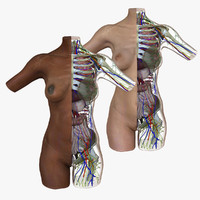 3d female torso anatomy combo