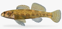 3d etheostoma podostemone riverweed darter model