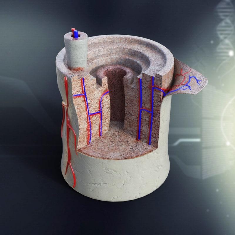 max human bone anatomy organs