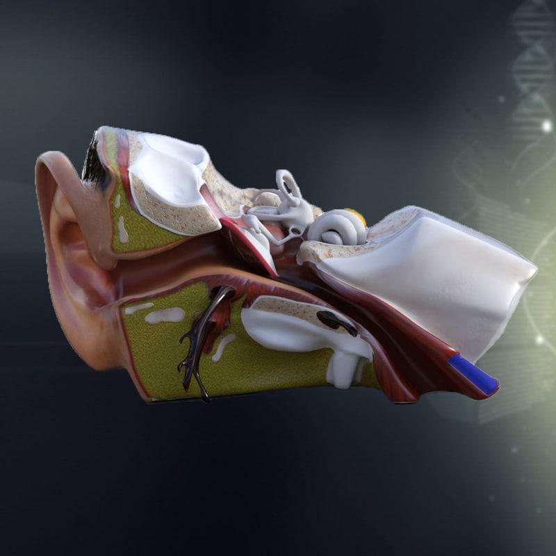 human ear anatomy max