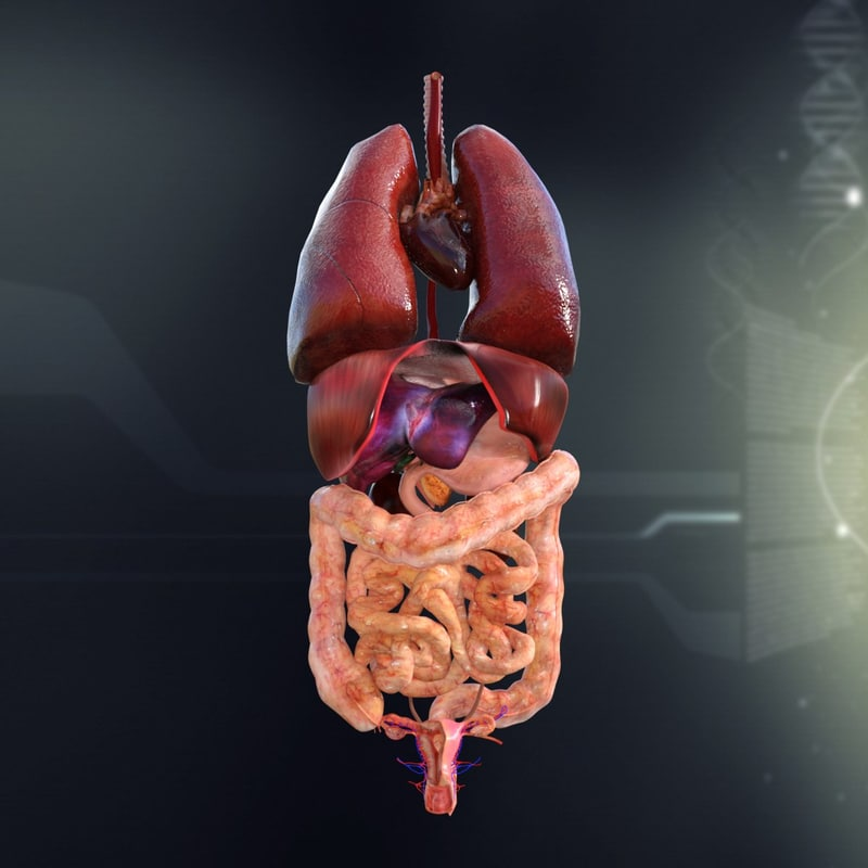 3d model human female internal organs