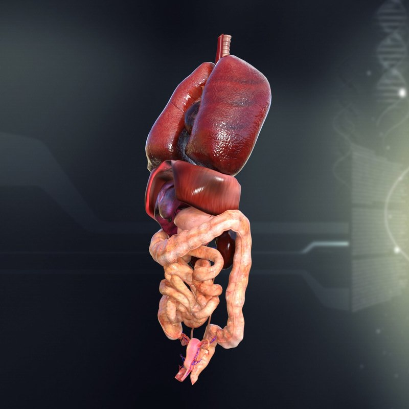 3d model human female internal organs