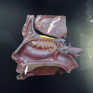 3ds max human nose anatomy