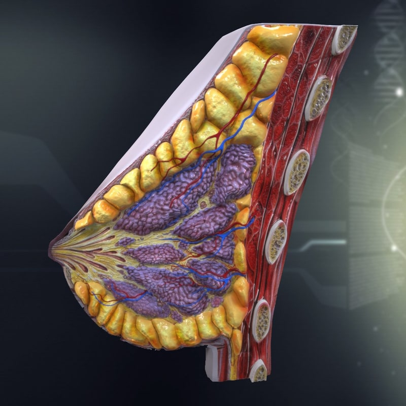 human breast anatomy females 3d model