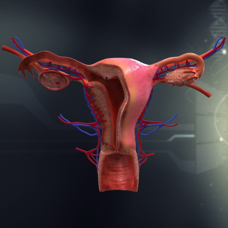 female organ anatomy 3d model