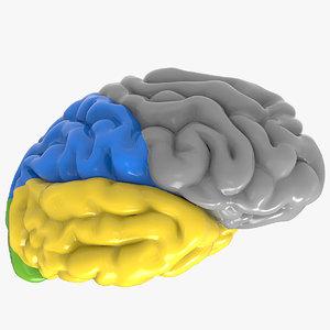 c4d nervous cerebrum colors sections