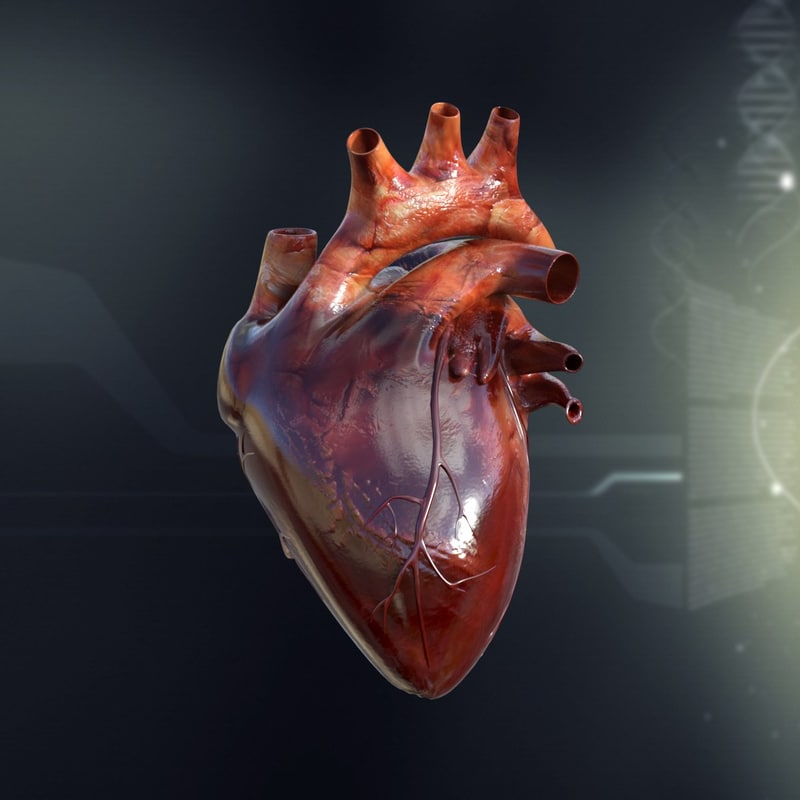 3ds max human heart anatomy