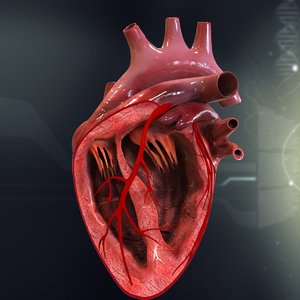 3d human heart anatomy model