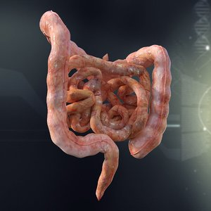 human intestines anatomy 3d model