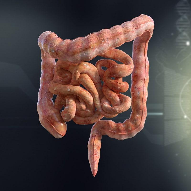human intestines anatomy 3d model