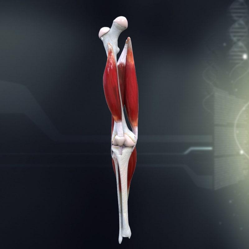 human knee joint anatomy x