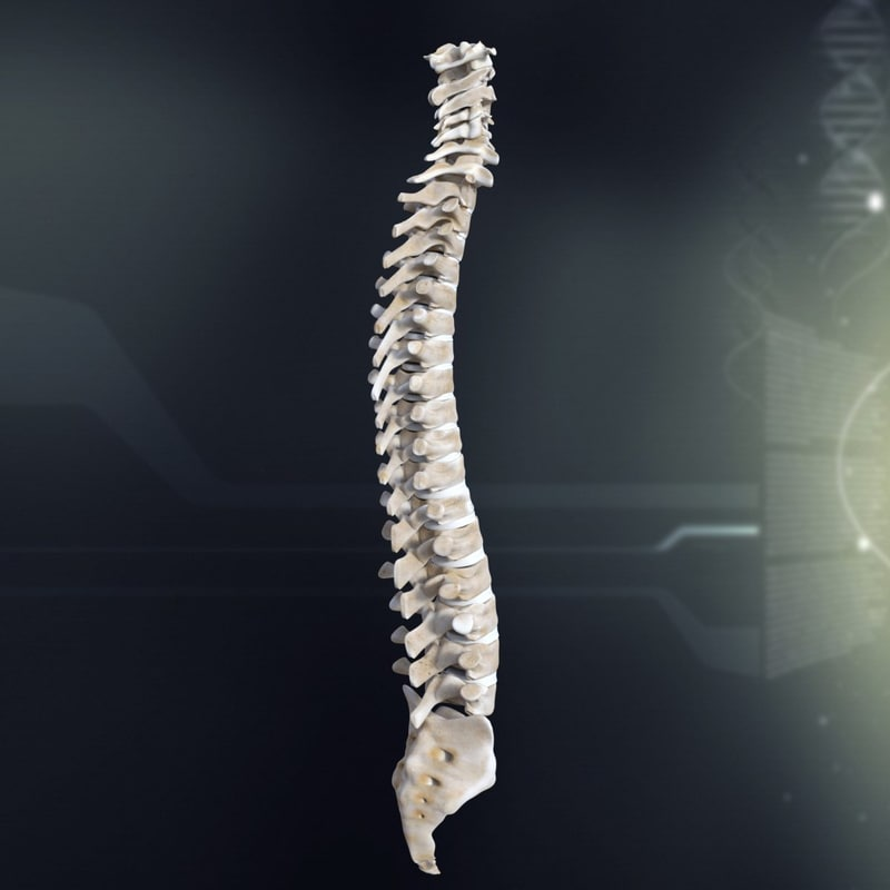 3d model human spinal anatomy