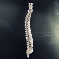 3d model human spinal anatomy