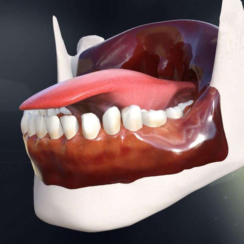 3dsmax Human Teeth Tongue Anatomy
