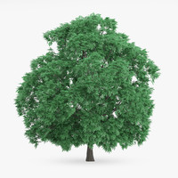 sweet chestnut 10 8m 3d model