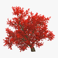 3d old red maple tree