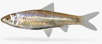 hybognathus nuchalis mississippi silvery 3d model