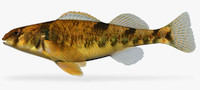 3d model etheostoma tetrazonum missouri saddled