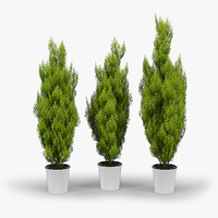thujas cupressus wilma trees max