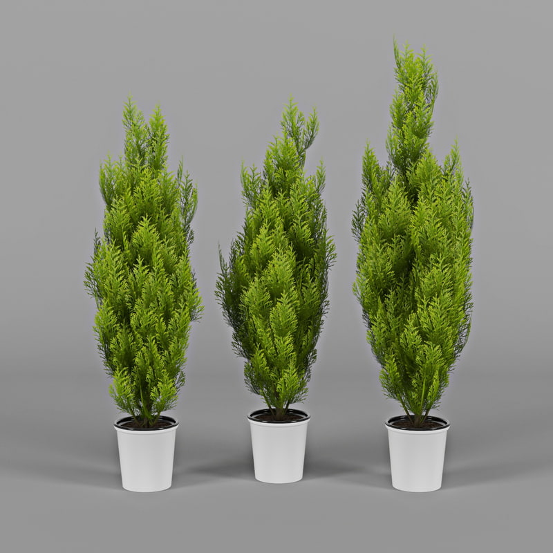 thujas cupressus wilma trees max