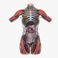 ultimate complete female torso 3d model