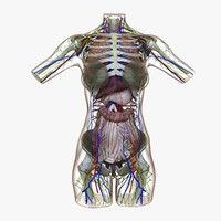 3d female torso anatomy circulatory