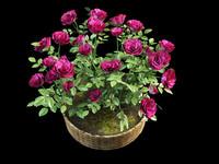 rose bush in pot