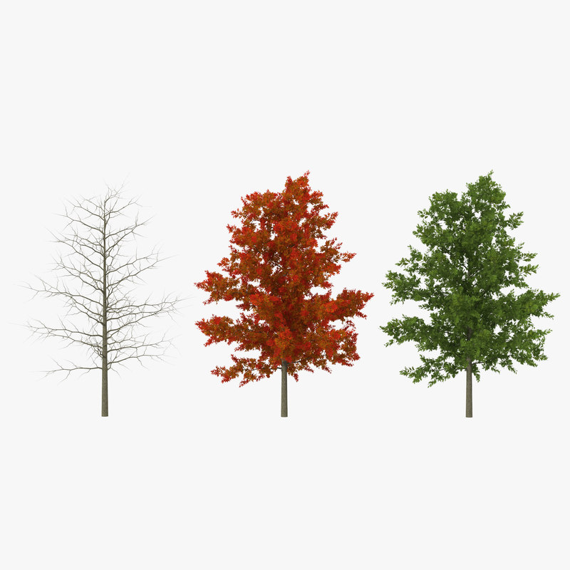 red oak young tree 3d max