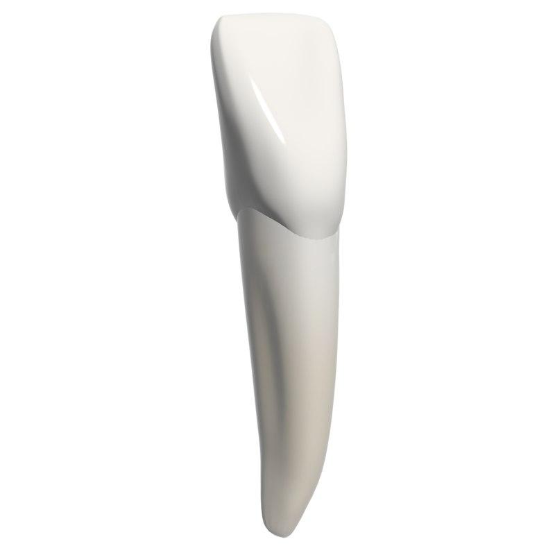 3d incisor model