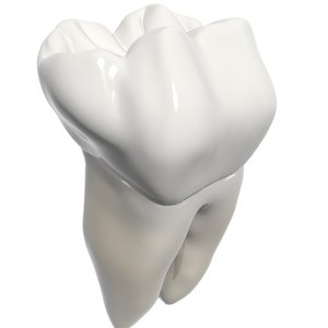 3d model molar