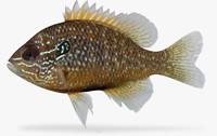 Lepomis marginatus Dollar Sunfish