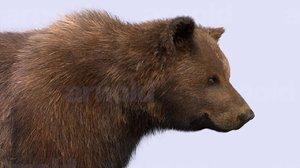 bear xgen fur 3d ma