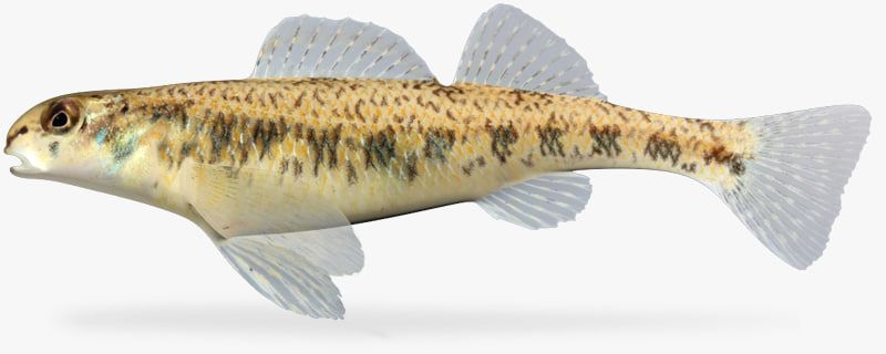 3d etheostoma stigmaeum speckled darter model