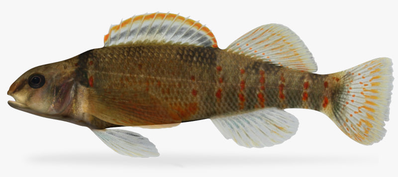 3d etheostoma variatum variegate darter model