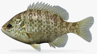 3d model lepomis microlophus redear sunfish