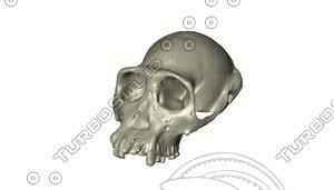 3d skull chimpanzee model