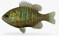 maya lepomis miniatus redspotted sunfish