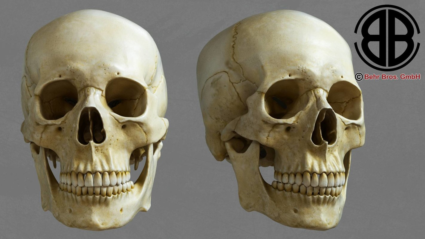 accurate human skull 3d max