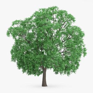 japanese chestnut 14m 3d model