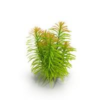 ludwigia aquarium plant 3d max