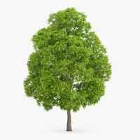 3d american chestnut 15 5m