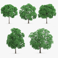 5 Japanese Chestnut Trees