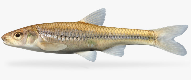 3dsmax notropis dorsalis bigmouth shiner