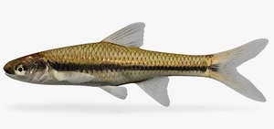 opsopoeodus emiliae pugnose minnow 3d model