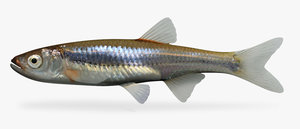 3d notropis rubellus rosyface shiner