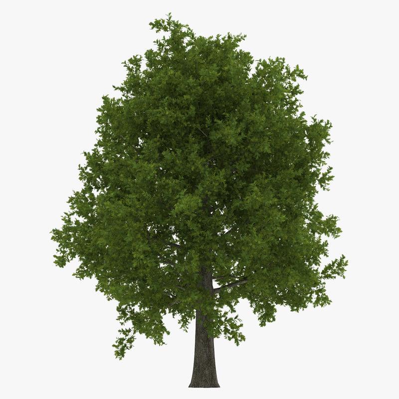3d red oak tree summer