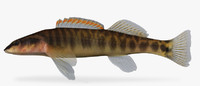3d model percina nasuta longnose darter