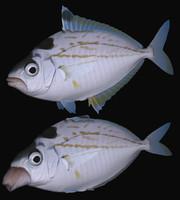 nuchequula nuchalis swimming 3d model